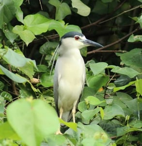 Photo of a black crowned night heron