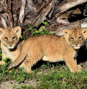 Photo of lion cubs
