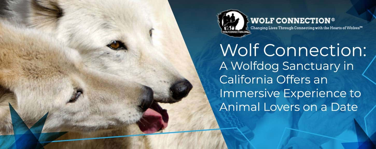 Wolf Connection: A Wolfdog Sanctuary in California Offers an Immersive Experience to Animal Lovers on a Date